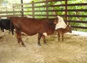 Vendo mini vaca santa rosália,aproveite