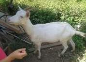 Vendo cabras saanen leiteiras