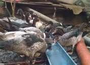 Vendo patos vivos e sadios