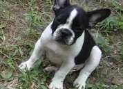 Bulldog francês e yorkshire filhotes machos