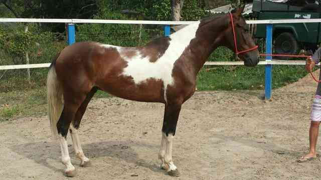 Vendo Cavalo Pampa Manga Larga Marchador