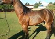 Vendo egua argentina importada