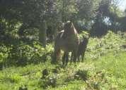 Vendo Égua crioula confirmada com 4 anos de idade