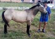Pacote 1 égua inglesa pura, 2 cavalos