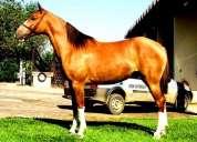 Vendo egua mangolina marcha picada