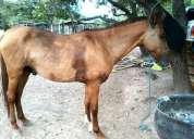 Vendo cavalo inteiro 1/4 campolina mãe pampa