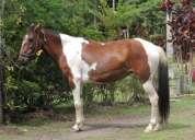 Vendo egua mangalarga pampa