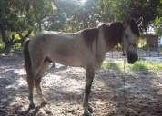Vendo cavalo campolina, roxo, 5 anos