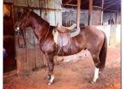 Vendo cavalo quarto de milha. pelagem alazão, com papel