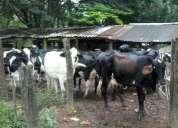 Vendo vacas