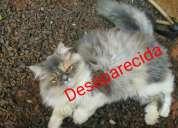 Vendo gata persa mestiça desaparecida