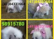Vendo filhotes de mini coelho fuzzy lop !em piraquara-pr!