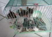 Vendo twist ou mercol (ratinho laboratorio)