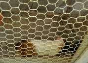 Vendo porquinhos da Índia (préa do reino)