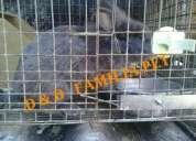 Vendo filhotes de coelho da raca mini-lion