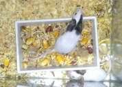 Vendo casal de topolinos com 6 filhotes + gaiola