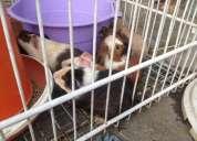 Vendo coelhos, hamster e porquinho da índia