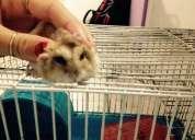 Vendo hamster loiro