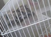 Hamster anão russo ou chinês